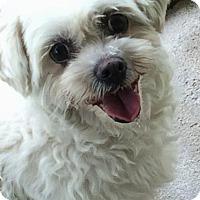 Adopt A Pet :: Gidget - Homer Glen, IL