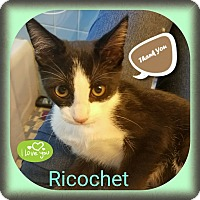 Adopt A Pet :: Ricochet - Warren, MI