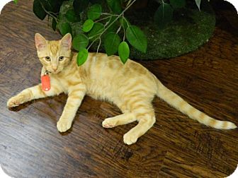 Domestic Shorthair Kitten for adoption in The Colony, Texas - Harry Houligan