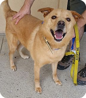 Chow Chow/Labrador Retriever Mix Dog for adoption in North Haven, Connecticut - Nicholas