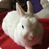 Netherland Dwarf Mix for adoption in Moneta, Virginia - Buttercup