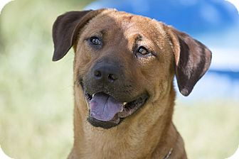 Labrador Retriever Mix Dog for adoption in Brattleboro, Vermont - Louise
