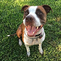 American Pit Bull Terrier Mix Dog for adoption in Wylie, Texas - Sadie