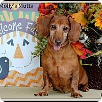Adopt A Pet :: Gus - Dixon, KY