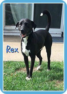 Labrador Retriever/Pointer Mix Dog for adoption in Elburn, Illinois - Rex