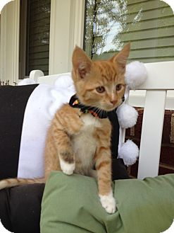 Domestic Shorthair Kitten for adoption in Statesville, North Carolina - Ann Margaret