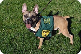 French Bulldog/American Pit Bull Terrier Mix Dog for adoption in Phoenix, Arizona - Texas