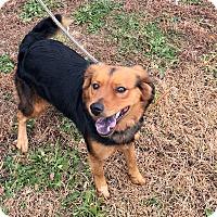 Border Collie/German Shepherd Dog Mix Dog for adoption in Loogootee, Indiana - Roxy