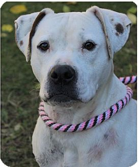 Boxer/Pit Bull Terrier Mix Dog for adoption in Red Bluff, California - PETUNIA/spayed