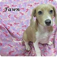 Adopt A Pet :: Fawn - Bartonsville, PA