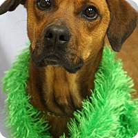 Black Mouth Cur/Boxer Mix Dog for adoption in Newnan City, Georgia - Clifford