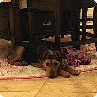 Adopt A Pet :: Piper - McKinney, TX