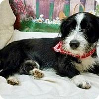 Adopt A Pet :: SCRUFFY - Fort Pierce, FL