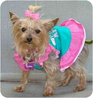 Yorkie, Yorkshire Terrier Dog for adoption in The Villages, Florida - Jenni