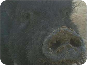 Pig (Potbellied) for adoption in Las Vegas, Nevada - Freddy