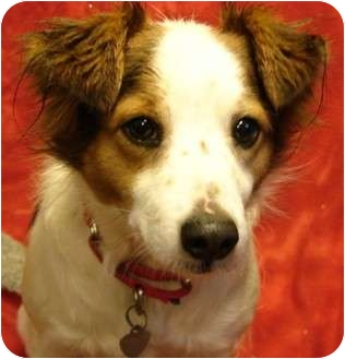 Brittany/Spaniel (Unknown Type) Mix Dog for adoption in Afton, Tennessee - Winston