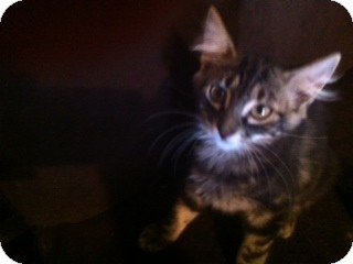Domestic Mediumhair Kitten for adoption in Weatherford, Texas - Moon