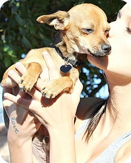 Chihuahua/Miniature Pinscher Mix Puppy for adoption in Bellflower, California - Mason