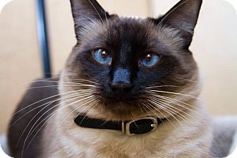 Siamese Cat for adoption in Irvine, California - Peyton
