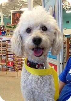 Poodle (Miniature) Mix Dog for adoption in Phoenix, Arizona - Jake