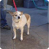 Adopt A Pet :: Cuma - Phoenix, AZ