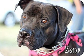 Pit Bull Terrier Mix Dog for adoption in Wichita Falls, Texas - Zena