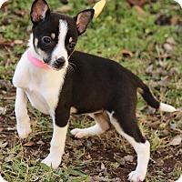 Adopt A Pet :: Ava - Brattleboro, VT