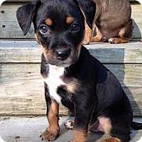 Adopt A Pet :: Baby Bodhi - Marlton, NJ