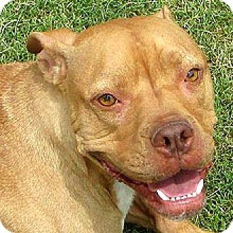 Boxer/Labrador Retriever Mix Dog for adoption in Phoenix, Arizona - Archimedes
