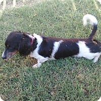 Adopt A Pet :: TUCKER - Lubbock, TX