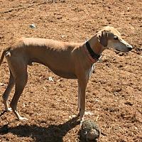 Adopt A Pet :: Chevy - Santa Rosa, CA