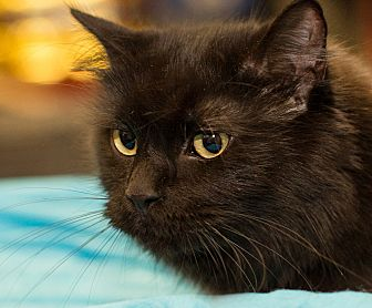 Domestic Longhair Cat for adoption in Germantown, Maryland - Luna