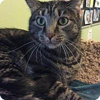 Adopt A Pet :: Scribblz - Breinigsville, PA