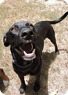 Labrador Retriever Mix Dog for adoption in Houston, Texas - Dozer