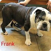 English Bulldog Dog for adoption in Nixa, Missouri - Frank  887