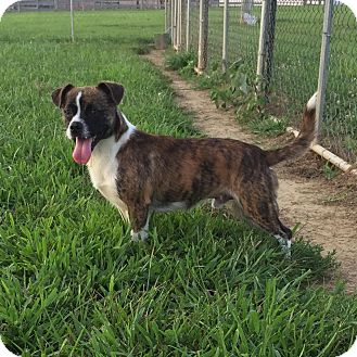 Boston Terrier/Pug Mix Dog for adoption in Russellville, Kentucky - Jeffery