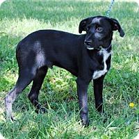 Adopt A Pet :: Ringo - Parsons, KS