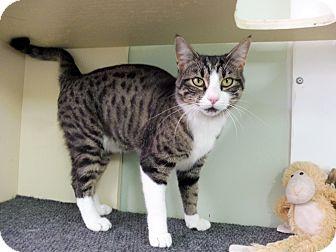 Domestic Shorthair Cat for adoption in Creston, British Columbia - Janja