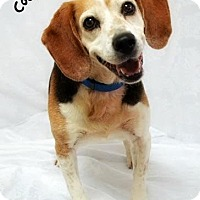 Beagle Mix Dog for adoption in Cincinnati, Ohio - Coomer