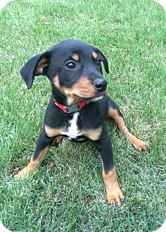 Doberman Pinscher/Labrador Retriever Mix Puppy for adoption in Eden Prairie, Minnesota - Max