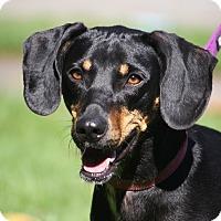 Dachshund/Beagle Mix Dog for adoption in West Milford, New Jersey - LOKI