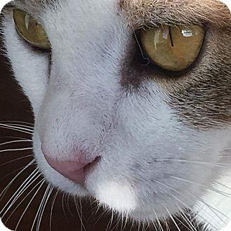 Domestic Shorthair Kitten for adoption in Horsham, Pennsylvania - Roxy & Rayna