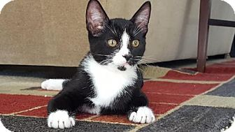Domestic Shorthair Cat for adoption in Davis, California - Oliver