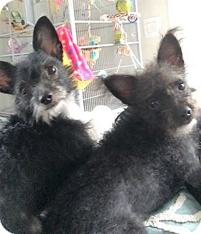 Terrier (Unknown Type, Small) Mix Dog for adoption in Ft. Lauderdale, Florida - Morticia & Wednesday