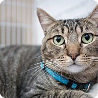 Domestic Shorthair Cat for adoption in Santa Ana, California - Tripoli