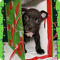 Adopt A Pet :: Gustav - Bradenton, FL