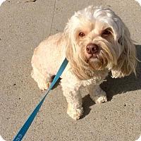 Adopt A Pet :: Kahlua - Costa Mesa, CA