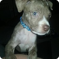 Adopt A Pet :: Stevie- Pending - Akron, OH