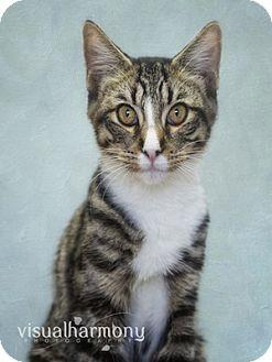 Domestic Shorthair Cat for adoption in Phoenix, Arizona - Dexter