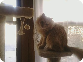 Domestic Longhair Cat for adoption in Lenexa, Kansas - Quigly